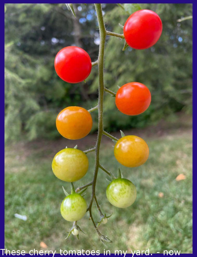 These cherry tomatoes in my yard.